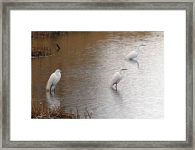 Framed Print featuring the photograph Snowy Egret Trio by Mark J Seefeldt