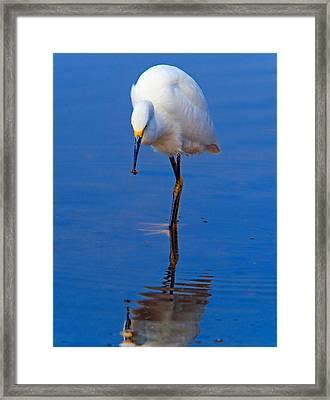 Snowy Egret.egretta Thula. Framed Print