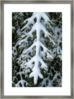 Snowy Fir Tree Framed Print by Sami Sarkis
