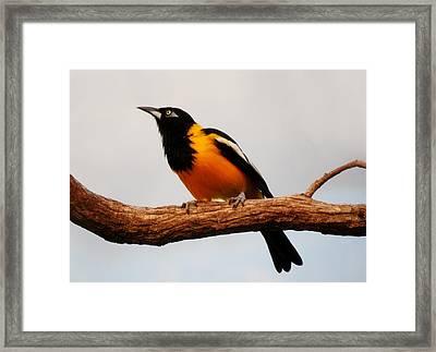 Snowy Headed Robin Framed Print by Paulette Thomas
