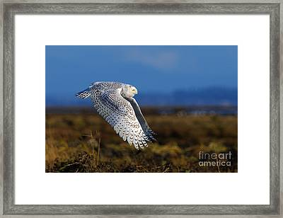 Snowy Owl 1b Framed Print by Sharon Talson
