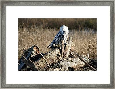 Snowy Owl At Boundary Bay B.c Framed Print