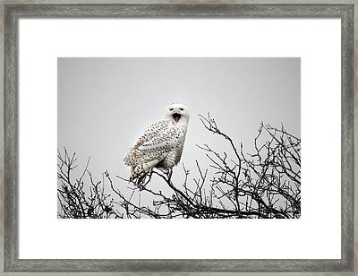 Snowy Owl In A Tree Framed Print by Pierre Leclerc Photography