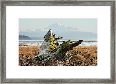 Snowy Owl In Boundary Bay With Mt Baker Framed Print