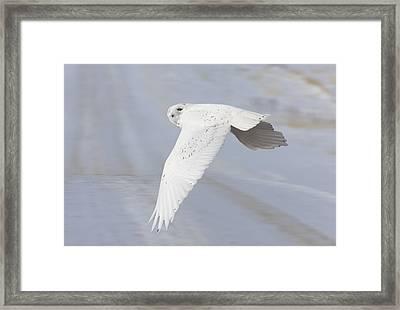 Snowy Owl In Flight In Saskatchewan Canada Framed Print by Mark Duffy