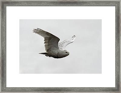 Snowy Owl In Flight Framed Print by Pierre Leclerc Photography
