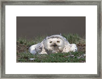 Snowy Owl Nyctea Scandiaca Mother Framed Print