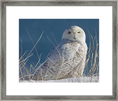 Snowy Owl Profile Framed Print