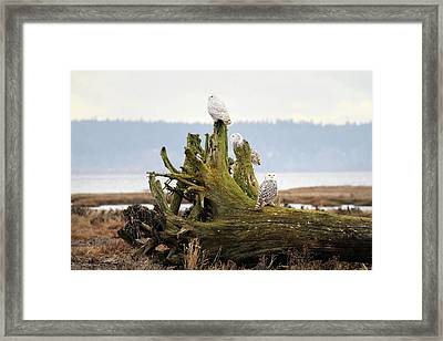 Snowy Owls Framed Print by Pierre Leclerc Photography