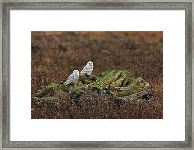 Framed Print featuring the photograph Snowy Owls by Scott Holmes