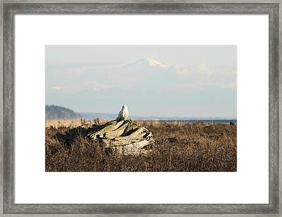 Snowy Owls With Mount Baker Framed Print