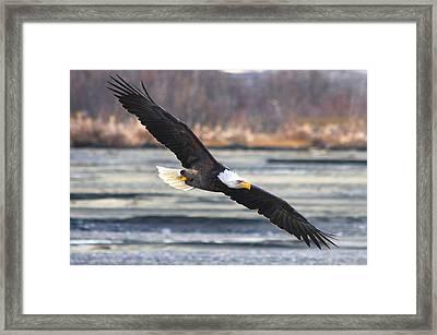 Soaring Bald Eagle Framed Print by Carrie OBrien Sibley