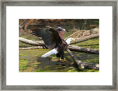 Framed Print featuring the photograph Soaring Eagle by Elizabeth Winter