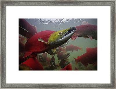 Sockeye Salmon Find Their Way Framed Print by Michael Melford