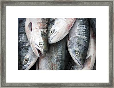 Sockeye Salmon Sit In A Pile Waiting Framed Print by Taylor S. Kennedy