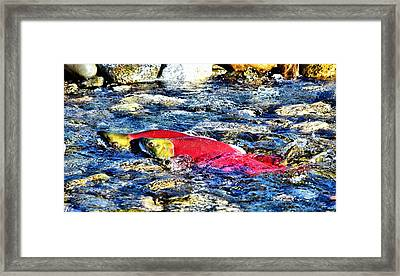 Sockeye Salmon Spawning Framed Print