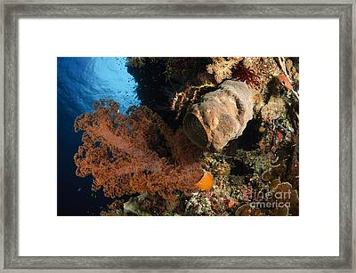 Soft Coral Seascape, Indonesia Framed Print by Todd Winner