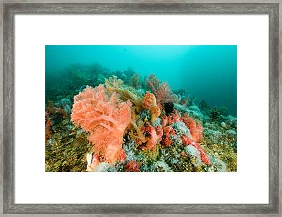 Soft Corals Of Many Hues Cover A Reef Framed Print