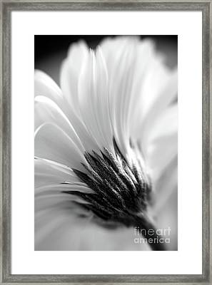 Soft Gerbera Framed Print