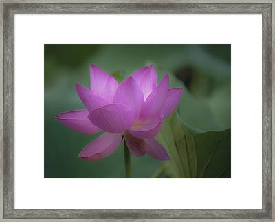 Soft Lotus Framed Print