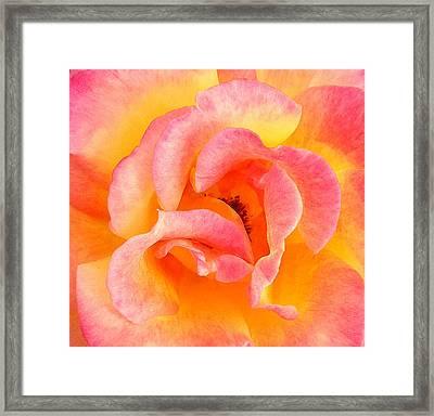 Soft Petals Framed Print by Becky Lodes