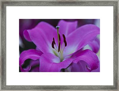 Soft Purple Framed Print by Maj Seda