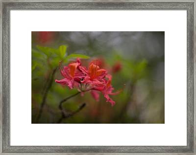 Soft Red Rhodies Framed Print by Mike Reid