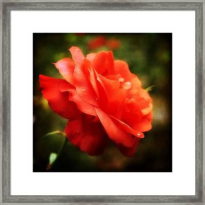 Soft Red Rose Framed Print