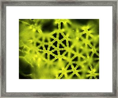 Soft Rush Stem, Light Micrograph Framed Print by Gerd Guenther