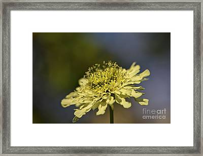Soft Yellow. Framed Print by Clare Bambers