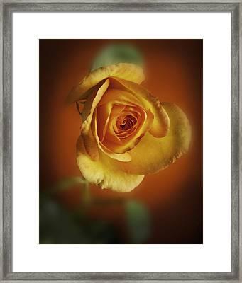 Soft Yellow Rose Orange Background Framed Print by M K  Miller