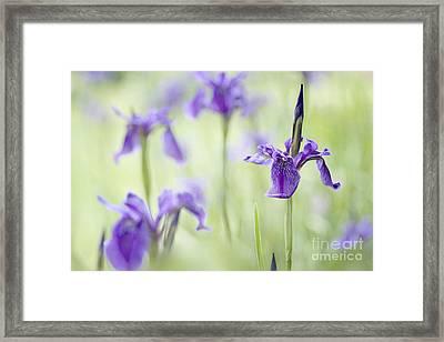 Softly Iris Framed Print