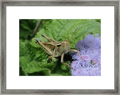 Softly Sitting Grasshopper Framed Print by Trish Hale