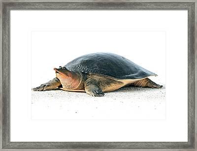 Softshell Turtle Framed Print
