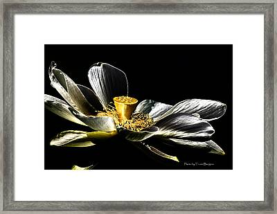 Solarized Lotus A Framed Print by Travis Burgess