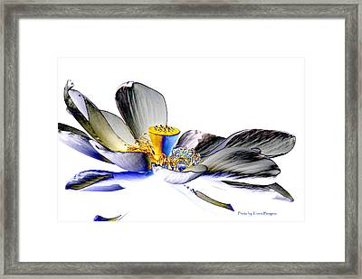 Solarized Lotus C Framed Print by Travis Burgess