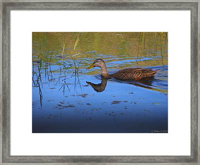 Solitary Duck In Autumn Framed Print