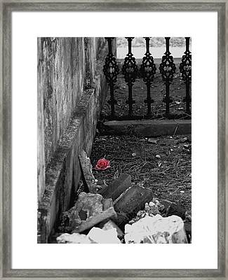Solitary Rose Framed Print by Renee Barnes