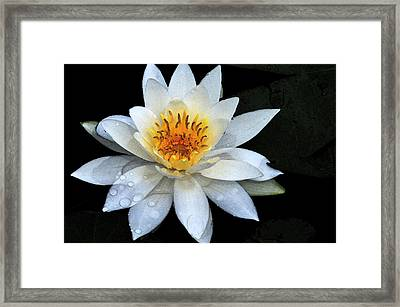 Solo Water Lily Framed Print