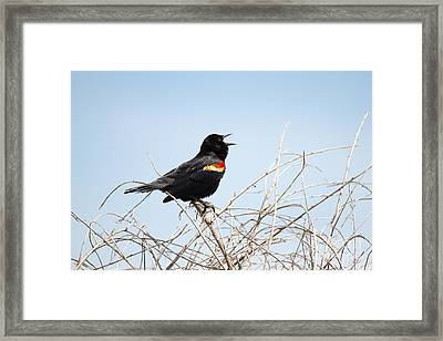 Song Of A Red-winged Blackbird Framed Print by Ellie Teramoto