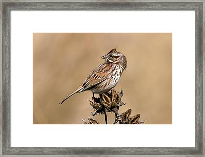 Song Sparrow Framed Print by Rich Leighton