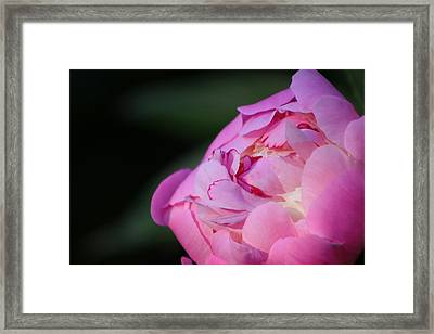 Sorbet Peony Framed Print by Ruthie Lombardi