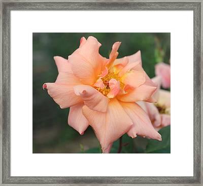 Sorbet Rose 2  Framed Print by Glenn Lawrence