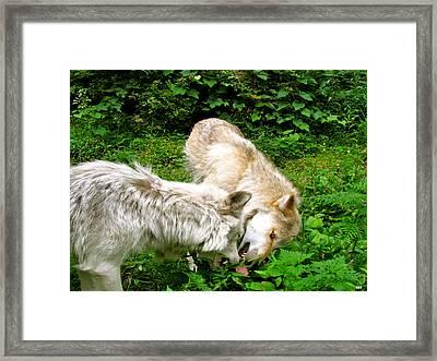 Sorry Wolf Pup Framed Print by Debra     Vatalaro