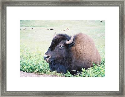 South Dakota Bison Framed Print