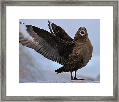 South Polar Skua Framed Print by Tony Beck