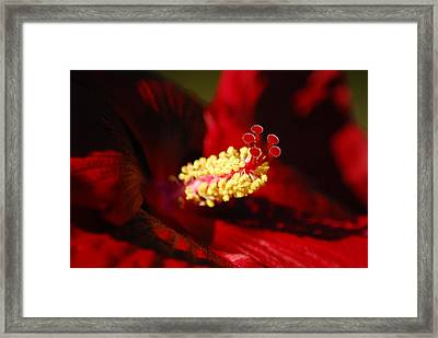 Southern Belle Hibiscus Framed Print