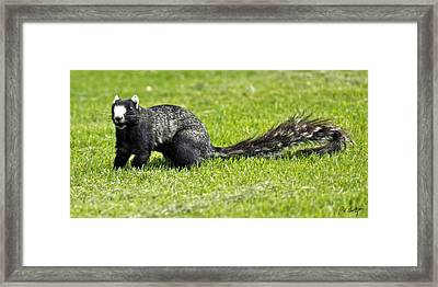 Southern Fox Squirrel Framed Print by Phill Doherty