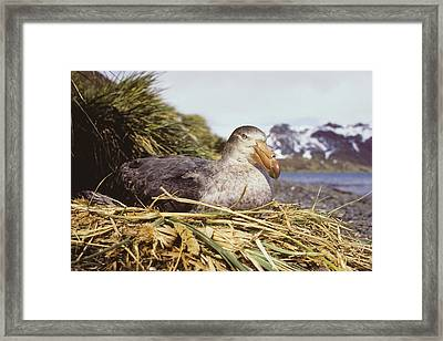 Southern Giant Petrel Framed Print by Peter Scoones
