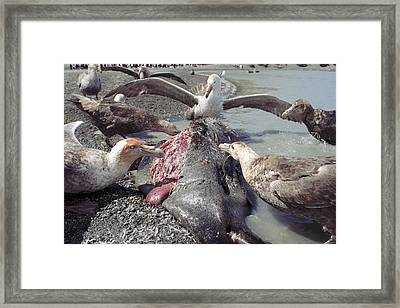 Southern Giant Petrels Scavenging Framed Print by Charlotte Main